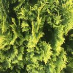 ヒバの精油は日本の「シダーウッド」。虫避けにも良いらしい?
