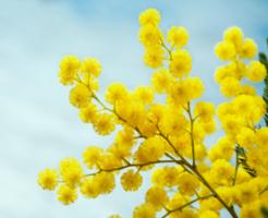mimoza_aroma