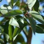 ユーカリ・シトリオドラは暑さを感じる季節にぴったりな精油。ほんのり◯◯の香り。