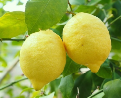 lemon_koukakounou_aroma