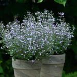 シャッキリする香りのカラミント。実はあの動物も大好きな植物!