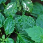 最強の防虫剤!パチュリの精油が持つ効果効能