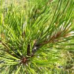 パイン(針葉樹)の精油の持つ効果効能のご紹介